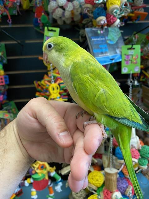 Palid Green Quaker Parrot Birdman S Baby Parrots